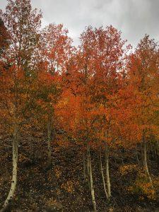 Fall color, Aspen color, where to see aspen color